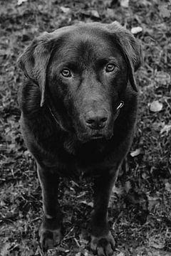 Labrador Bruno von Tessa Dommerholt