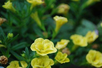 Gele bloemen