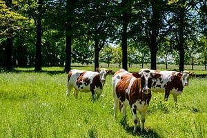 Koeien op het landgoed