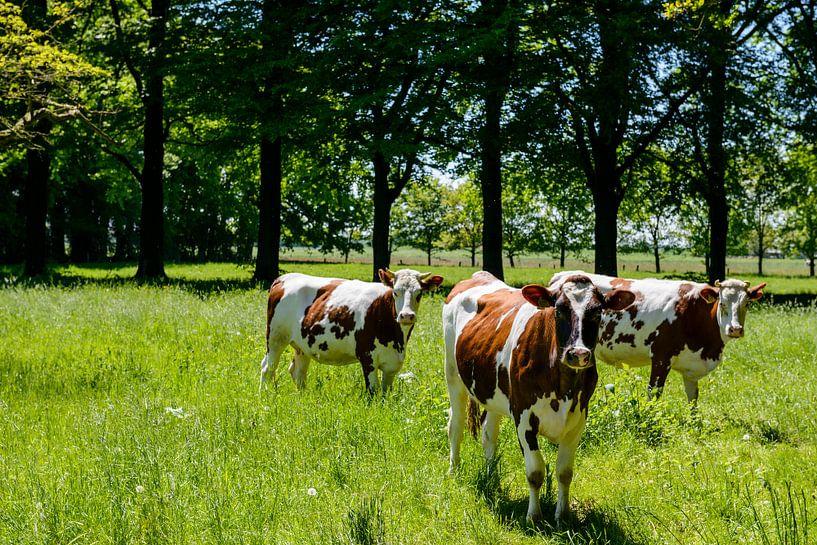 Koeien op het landgoed van Sjoerd van der Wal