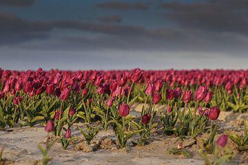 Tulpen von Anne Marie Hoogendijk