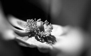 Anemoon in zwart wit.