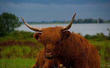 Resting Cow van Erik Bravenboer