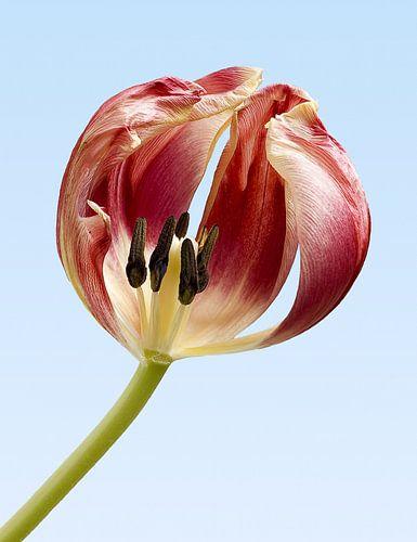 Tulip von Han van der Staaij