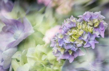 Bloeiende Hortensia van Ellen Driesse