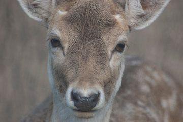 bambi kijkt in lens damhert van Groothuizen Foto Art