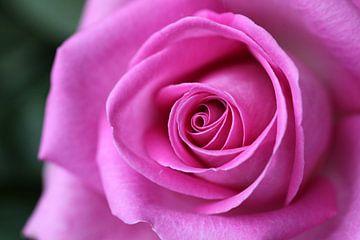 Roze roos van Edwin Butter