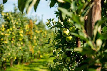 De Nederlandse appelboomgaard