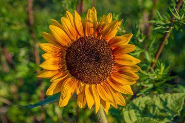 Zonnebloem van Fred Leeflang