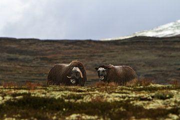 2 Moschusochsen im Dovrefjell-Nationalpark, Norwegen von Geke Woudstra