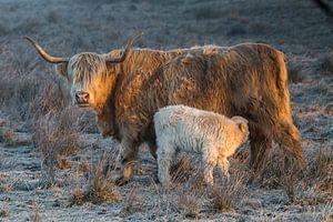 Schotse Hooglander koe met kalf