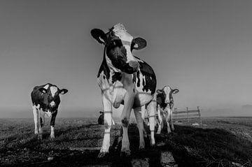 Koe in ochtendmist van John Wiersma
