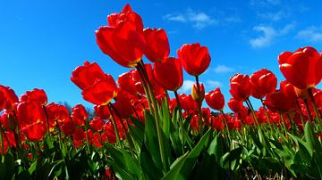 Dutch flowers in red (Tulpen) van Loraine van der Sande