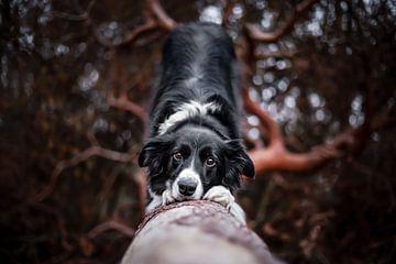 Border Collie-Hund beugt sich auf einem Baumstamm von Lotte van Alderen