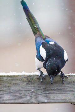 Ekster tijdens sneeuwval in de tuin van Menno van Duijn