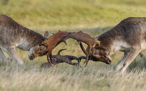 Damherten gevecht van
