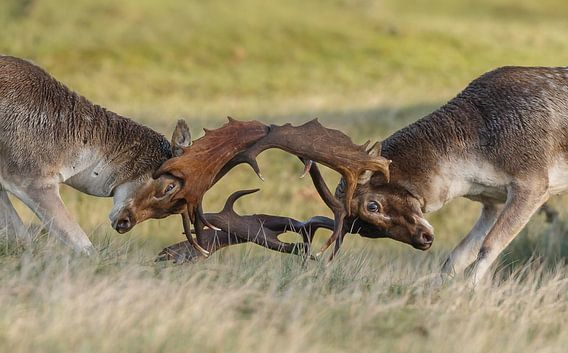 Damherten gevecht van Menno Schaefer