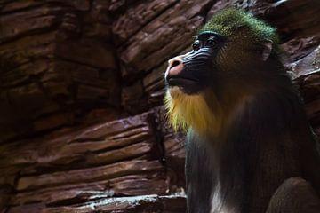 Madrill aap met blauw gezicht en gouden haar op de achtergrond van stenen die lijken op een baviaan  van Michael Semenov