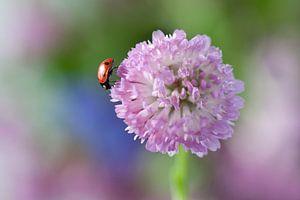 Lieveheersbeestje op rode klaver van