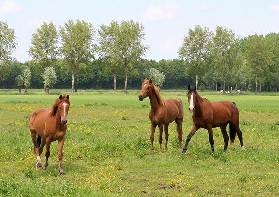 Paarden in de wei.