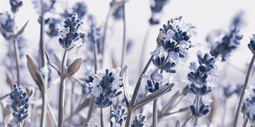 Lavendel von Violetta Honkisz