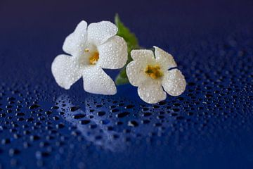 Weiße Blumen mit Tropfen von Cor de Hamer