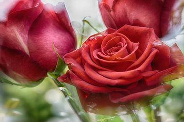 Rote Rosenblüten im Sonnenlicht von Nicc Koch