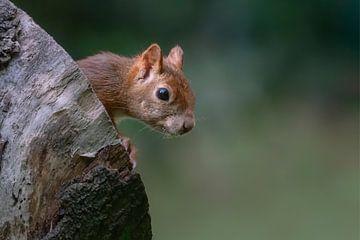 Eekhoorn kijkt nieuwsgierig naar buiten. van Albert Beukhof