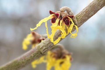 toverhazelaar (hamamelis mollis) in bloei, gele bloemen van de geneeskrachtige plant tegen een wazig van Maren Winter