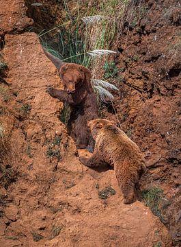 Bruine beren achtervolgen op een heuvel van Laura Sanchez