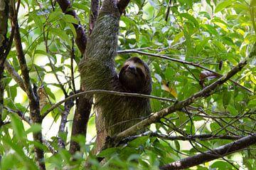 Luiaard in boom van Maurits Kuiper