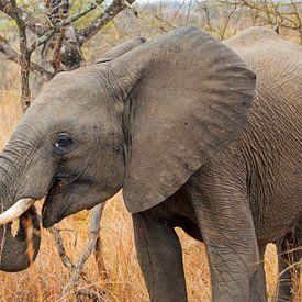 Olifant zuidafrikaanse von Paul Franke