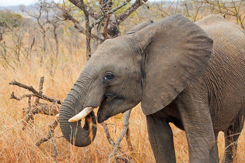 Eléphant d'Afrique du Sud sur Paul Franke