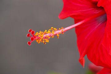 Hibiscus van RWNL Fotografie