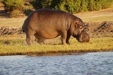 Grazend nijlpaard van Erna Haarsma-Hoogterp