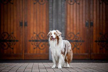 Porträt eines australischen Schäferhundes von Lotte van Alderen