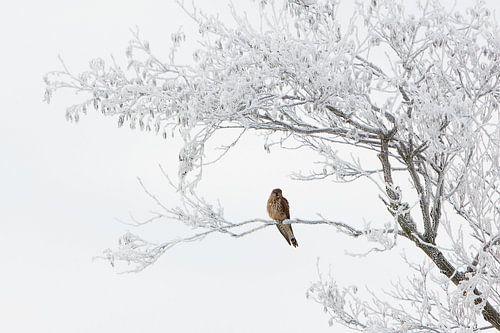 torenvalk in berijpte boom