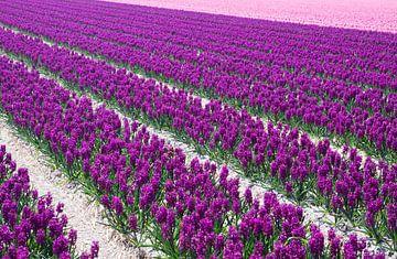 Paarse en roze hyacinten van Maurice de vries