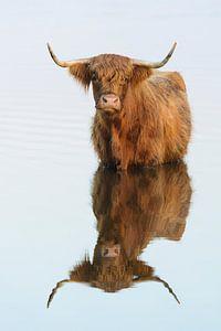 Schotse hooglander van Ralph Hamberg