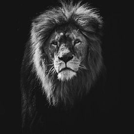 Leeuw van Niels Eric Fotografie