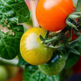 Tomaten van Marcel Pietersen