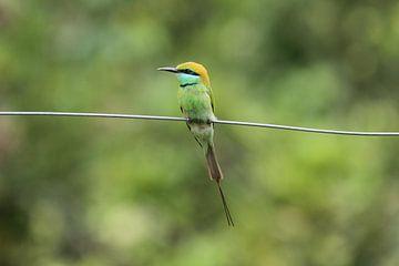#NEPAL555 Kleine Groene Bijeneter von Coen nengerman
