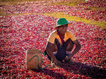 De peper plukker van Kalaw Myanmar van Rik Pijnenburg