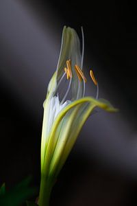 Ismene (Spiderlily) Spinlelie van Lily Ploeg