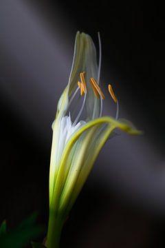 Ismene (Spiderlily) Spinlelie