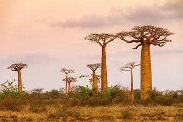 Landschap met Baobabs van Dennis van de Water