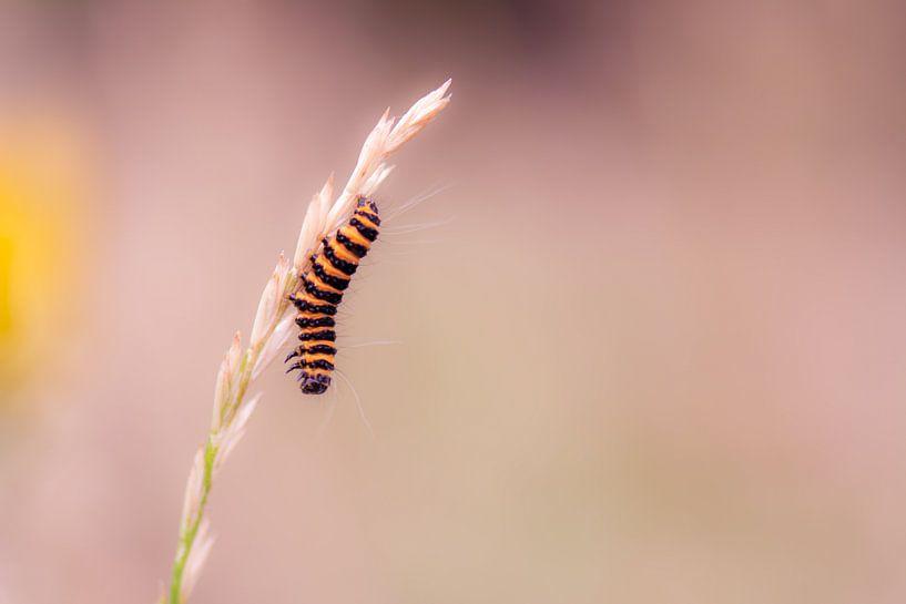gelbe schwarze Zebra-Raupe von Tania Perneel