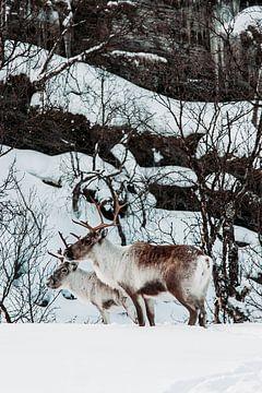 Rendieren in Noorwegen van Peter Boon