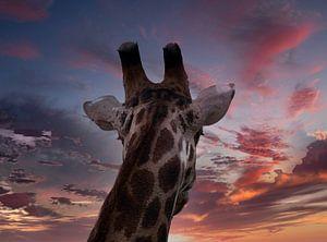Giraffe blickt in die Ferne