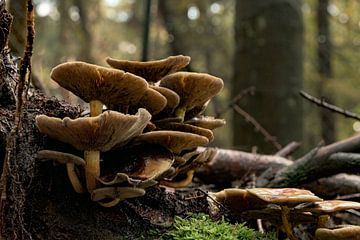 Schöne Herbstszene: Pilze auf gefallenen Ästen von Natasja De lannooy